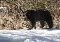 Bear Strolling By... (Doug Up North) Tags: bear blackbear farnorthbicentennialpark comesoffthecottonwood anchoragealaska