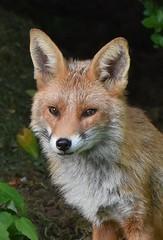 Fox in the garden (Clare_leeloo) Tags: fox redfox mammals wildlife nature nikon