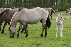Dülmener Wildpferde (finestra29) Tags: pferde wildpferde dülmen fohlen stute outdoor