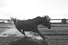 The pursuit of Freedom (Aleksander S.) Tags: horse white black animal canon freedom dynamic poland return 7d 55 pursuit 250 55250 h3r0x
