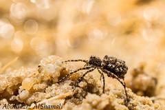 spider (Aziz alshamali) Tags: closeup insect spider natural macrolife