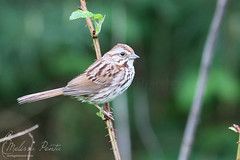 Song Sparrow (Melissa Penta) Tags: ny birds sparrow vestal