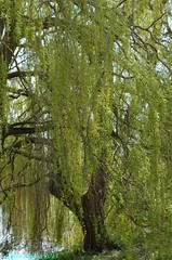 WEEPING WILLOW SCENE (Colin Avison) Tags: water attenborough naturereserve quarry beeston nottinghamshire wildlifetrust