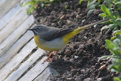 Photo of Grey Wagtail (Motacilla cinerea)