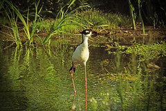 Birds (PixelbyPixelPhotography) Tags: california above red white black eye america back long legs himantopusmexicanus small north southern belly patch stilt necked himantopus mexicanus