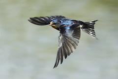 Rondinotto in volo (d.carradori) Tags: uccelli danilo rondine fotoclub supershot passionphotography eliteimages fotoclubilbacchino carradori
