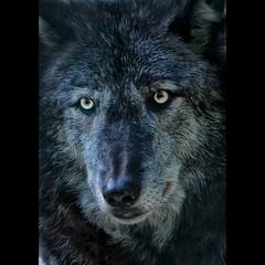 Wolves Lakota preserve (Pennsylvania Guild of Craftsmen) Tags: usa mountains newjersey wolf nj columbia wolves wildlifephotography naturephotogrpahy laktotawolfpreserve