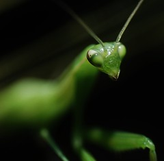 The Extraterrestrial of yesterday :) (miles smile) Tags: summer macro green nature colors animal insect bokeh couleurs sony alien qubec getty t qc prayingmantis insecte mantereligieuse tamron90mmf28macro alpha55