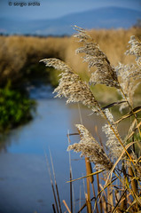 Plumeros (serarca) Tags: tablas vegetacion daimiel plumeros