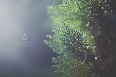 Winer Morning (Andrey Germano) Tags: tree green pine 50mm afternoon bokeh tarde pinho