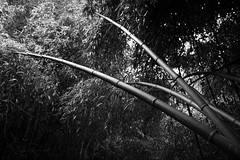 Bamboo Stems (Dalliance with Light (Andy Farmer)) Tags: bw stem bamboo rutgersgardens