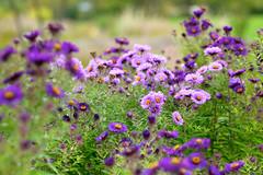 Herbstblumen (abmaack) Tags: lila blten