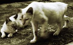 adik beradik miming dan miow (PieceOfMindArt) Tags: animal cat nikon coolpix s3000