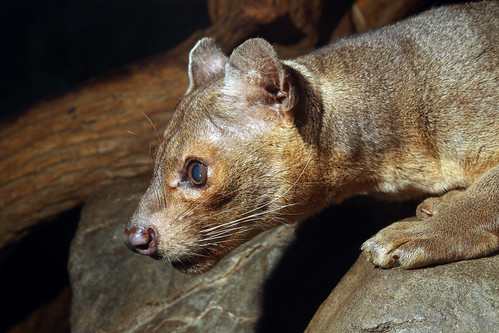 Fossa by Mark Dumont, on Flickr