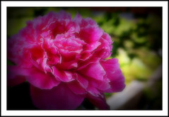 Red Peony (Sigurd Ruschkowski) Tags: lejardindesdélices fleursetpaysages fleursdemoncoeur