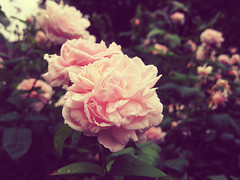 bound to die (ila) Tags: pink flowers flower green nature rose vintage rosa natura fiori fiore rugiada
