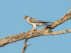 Grey Falcon (Falco hypoleucos) (David Cook Wildlife Photography) Tags: australia nsw sturtnationalpark greyfalcon kookr falcohypoleucos davidcookwildlifephotography lakepinaroo sonyslta77v ©2013davidcookwildlifephotographyallrightsreserved sonysal300f28g2 sonysaltc14