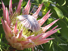A Protea native to South Africa Australia and South America (pat.bluey) Tags: new flowers wales south australia 1001nights flickraward mtpenanggardens proteaceaefamily 1001nightsmagiccity hennysgardens