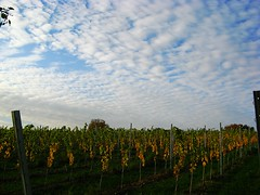 Hosianna, Gott erscheinet (amras_de) Tags: bag vineyard via vinha vignoble vie weinberg wijngaard vigneto vinograd vinice winnica vingrd vinyal vinohrad viinitila vinyar vinhal vitejo viinapuuistandik vision:mountain=0955 vision:clouds=099 vision:sky=099 vision:outdoor=0969