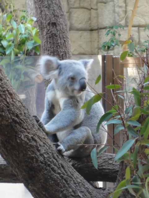 コアラは夜行性の動物なので、いつ来ても寝ていることが多いの。|名古屋市東山動植物園