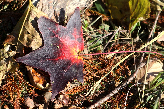 Reelfoot Lake in Autumn: Fall Leaf
