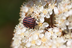 Graphosoma lineatum (Colin Hodges) Tags: beetle