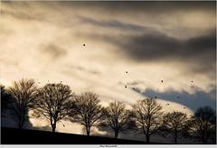 November (bernd obervossbeck) Tags: november autumn trees sky birds silhouette treesilhouette herbst himmel vgel bume eveninglight sauerland abendlicht flyingbirds baumreihe rowoftrees baumsilhouette mygearandme