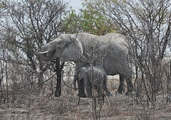"""Some Day Little One You Will Be Able to Reach This High"" (The Spirit of the World) Tags: africa elephants namibia etosha babyelephant southernafrica africananimals africanbush motherandbabyelephant mygearandme nationalparkofnamibia"