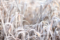 6671 frosted grass (Karen Juliano) Tags: winter cold grass frost blades frosted