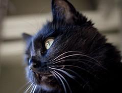 Maedchen (Joshuaww) Tags: california new black yellow cat photography coast photo kitten joshua main north central kitty salinas whiskers photographs photograph meow f18 lense maedchen joshuaww
