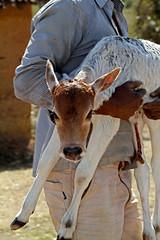 A Man's Calf (cowyeow) Tags: travel portrait people baby india man cute composition rural cow workers holding cattle farm candid labor indian farmland dude local calf farmanimal carry pradesh khajuraho babycow madhyapradesh bandhavgarh madhya