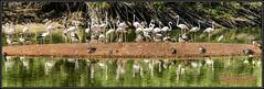 DSC_3843m (sarkis_sakaz) Tags: naturaleza animal lago agua arboles paisaje pajaro flamenco patos nikond800