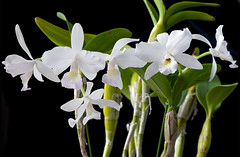 Meet Debbie (Paul in Japan) Tags: white orchid flower floral fcc alba tropical bloom cattleya debbie aos skinneri