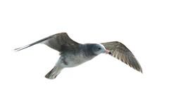 黑尾鷗 Photo