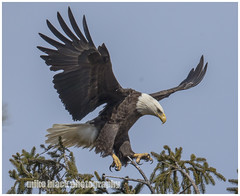 Bald Eagle lands at NJ shore (Mike Black photography) Tags: new wild bird nature animal canon lens is spring big nest eagle year birding bald nj feather aves science raptor shore jersey l species usm dslr talons 800mm