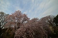 DF0_7060 (Zengame) Tags: tokyo nikon df 桜 sakura cherryblossoms 東京 rikugien 六義園 14mm samyang ニコン しだれ桜 サムヤン