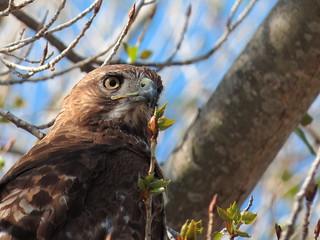 Red tailed Hawk_04_03_14_Vista CA 050