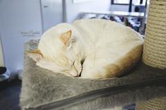 La Gatoteca (Vernica Bautista) Tags: madrid cute cat nikon gato slepping catcoffee 18105mm d7000 gatoteca nekocoffee