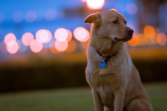 Right Hand Man (Adrian Burlaza) Tags: nightphotography dog russell bokeh labmix zeiss135 sonya77 52weekphotochallege