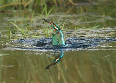 Reflections (Philip A Price) Tags: sony a6300 canon 400mm f28 metabones tc 14 ef kingfisher diving ref reflections
