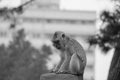 I'm wondering. (Tcer L) Tags: monkey xe2s hsinchuzoo hsinchu zoo 新竹市立動物園 blackandwhite 猴子