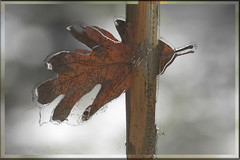 Oak Leaf (Karen McQuilkin) Tags: oak leaf