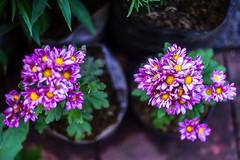 DSC04895 (Jhoni Lim) Tags: color yashinon dx 45mm f17 range finder lens