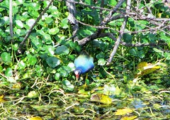 Porphyrio martinica --  Purple Gallinule 2833 (Tangled Bank) Tags: green cay palm beach county florida wild nature natural marsh wetland fauna porphyrio martinica purple gallinule 2844 bird