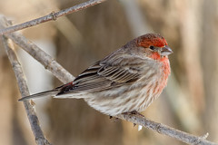 Male House Finch (tresed47) Tags: 2017 201701jan 20170110bombayhookbirds birds bombayhook canon7d content delaware finch folder housefinch peterscamera petersphotos places takenby us ngc npc