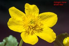 Caltha palustris (Herman1705) Tags: calthapalustris dotterbloem rodagon rodenstock 80mm a500 bg40