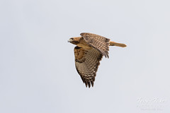April 3, 2017 - A Red-tailed Hawk patrols the South Platte River. (Tony's Takes)