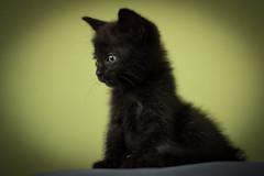 Gilmour (Emir Cykman) Tags: cat gato kittie kitten photography photographie fotografía nikon nikond5200 50mm 50mmlens portrait retrato