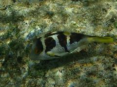 Black-Saddled Toby (jdf_92) Tags: australia lordhoweisland snorkeling blacksaddledtoby canthigastervalentini island unesco