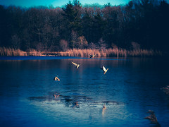 Take flight (Robert...P/OFF for a few days) Tags: ducks flying lake ice nature mallards anatidae